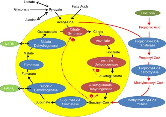 Krebs cycle and clostridia overgrowth